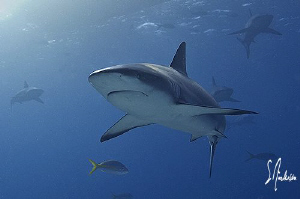 This image was taken as the Reef Sharks came to the feedi... by Steven Anderson 